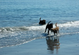 dogs in surf